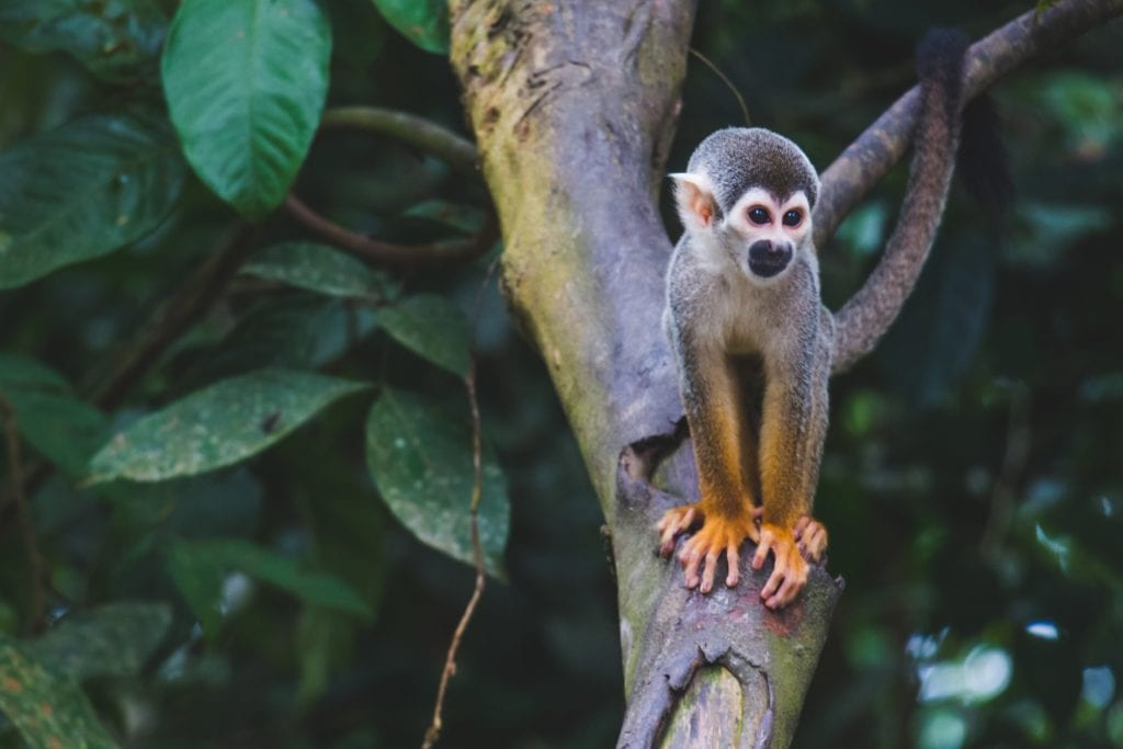 Monkey sitting in a tree in the amazon forest