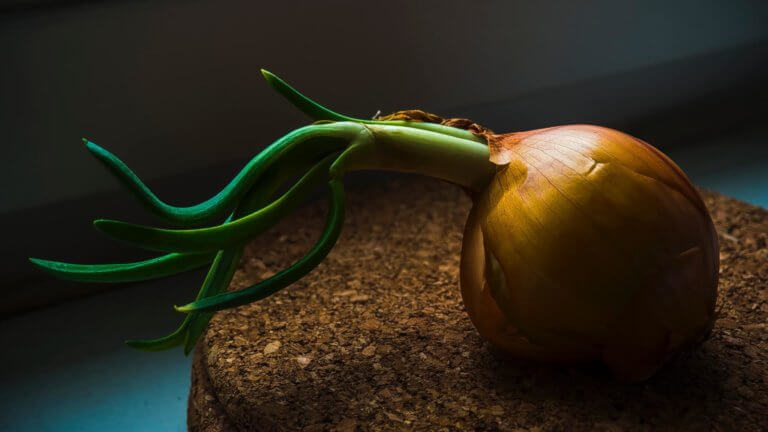 Onion sprouting
