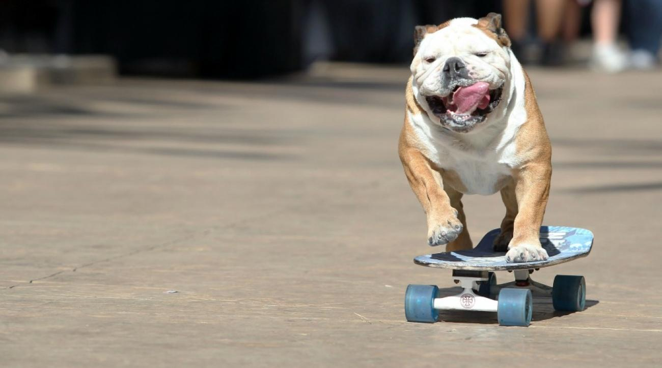 Tillman the bulldog skateboarding