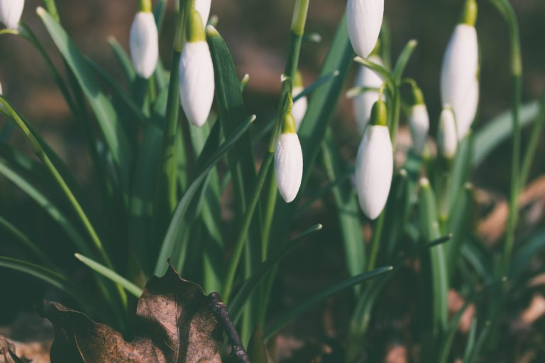 Image of snowdrops by Aliis Sinisalu